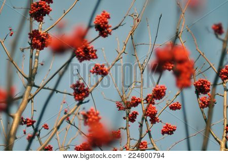 Berries of red mountain ash against the blue sky. Selective focus.