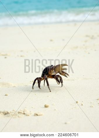 Crab with raised claws on white sand beach