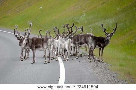northern reindeer herd standing on highway road