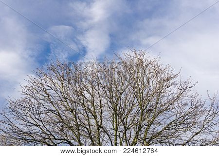 Close-up of Big Branches of a bare Tree in front of a blue cloudy Sky. View to a beautiful big blooming bare Tree on a cloudy Day in Spring. Blooming Trees and Plants. Nature and Season Backgrounds.