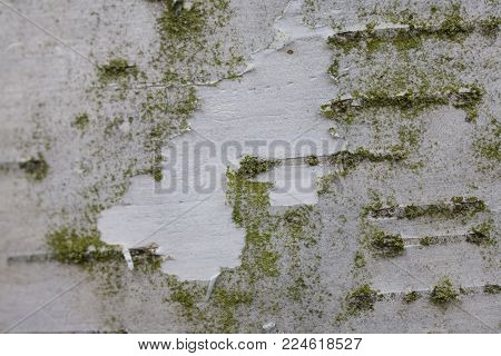 natural background from white birch bark with green coating