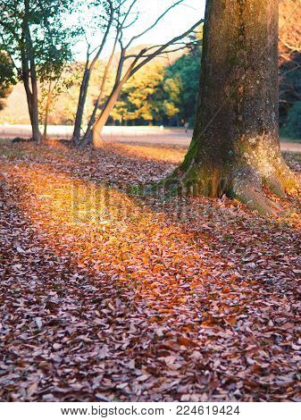 Beans of winter sun light break through in the park. Warm rays of sunlight break through the trees onto the dry winter foliage in the park. Shadowed fallen leaves turn from brown to golden yellow, next to a tree with moss. Focus area is on the light.
