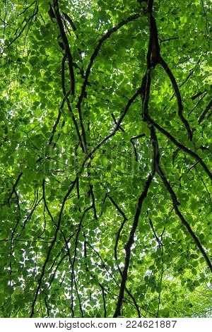 Green Beech Tree Canopy Foliage Pattern in the Woods