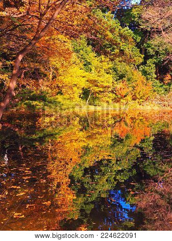 Japanese pond reflections with shades of greens, yellows and oranges. Foliage of different shades reflect on a pond in Tokyo, with leaves gently floating on top of the water and a flash of the sky reflects in the bottom.