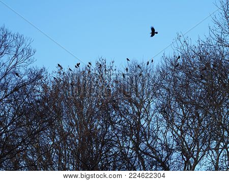 Crow flying over a large murder of crows in the tree tops.