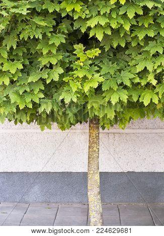 Maple tree growing on the pavement near the wall