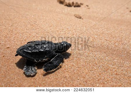 Baby turtle sea turtles on the beaches of Sri Lanka
