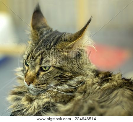 thoroughbred pedigree cat Maine Coon with grey color and very important look with tassels on the ears