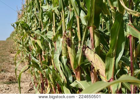 Field with corn. Ripe corn cobs. Agriculture