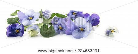 purple blue pansy flowers and leaves, spring banner background in panoramic format isolated with small shadows on a white background, floral design, selected focus, narrow depth of field