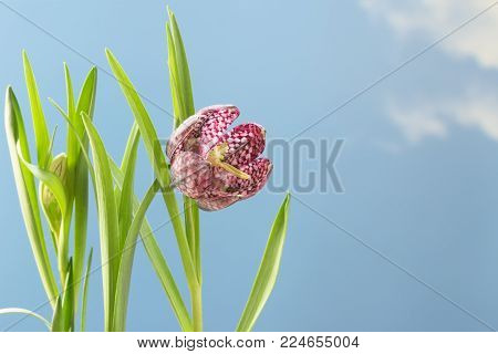 snake's head fritillary (Fritillaria meleagris) or chequered daffodil, close up of the flower against a blue sky background with large copy space, spring greeting card