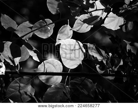 Black and white image of leaves in a dense forest with dappled afternoon sunlight passing through it
