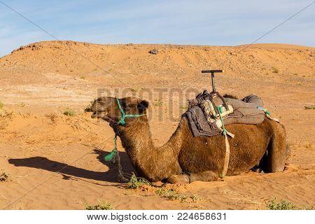camel lying on the sand in the Sahara desert, Morocco.