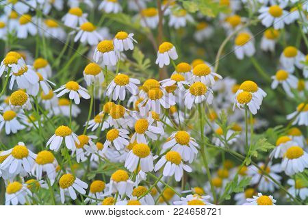 Many flowers of the medicinal herb feverfew in a bed