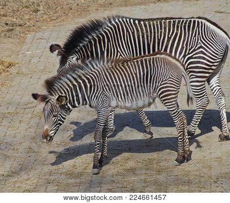 Calf of Grevy zebra (Equus grevyi) close up.