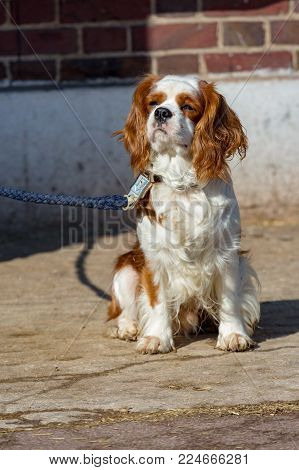 Nice portrait of a King Charles Cavalier dog on a leash
