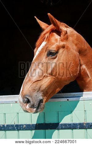 Closeup on Chestnut Horse with a large head markings in head, out in his stall in the stables
