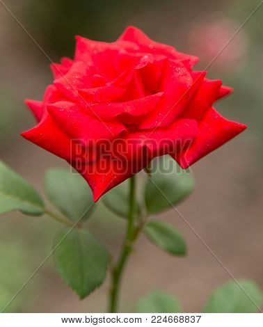 beautiful rose in nature . In the park in nature