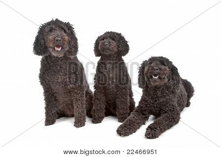 Two Labradoodle And One Poodle Dog