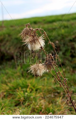 Dried bur weed plant on blurred green grass and blue cloudy sky background on cold winter day