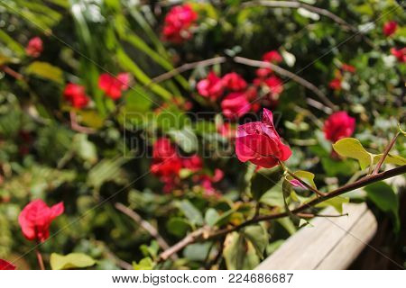 Primavera's flower, red and green in a sunny day