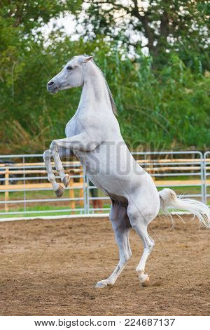 Runaway white horse standing on its hind legs. In the enclosure.