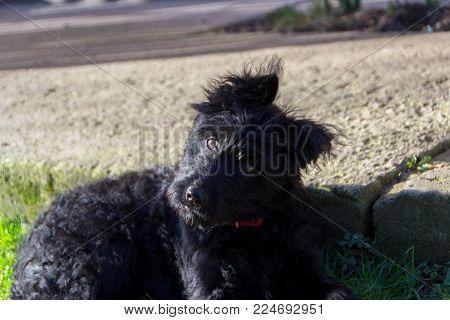 A Playful Dog, Pulin