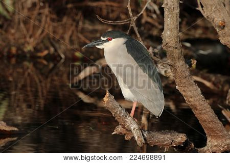 A Black-Crowned Night Heron sitting on a branch in a Florida rookery