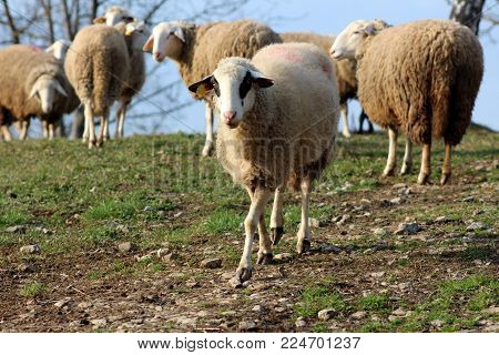 Single curious sheep going away from flock and towards camera on rocky path surrounded with uncut grass poster