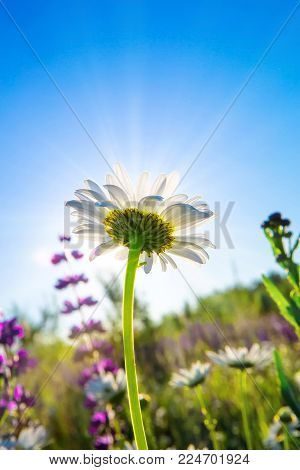 Beautiful white daisies in a green rural meadow in the rays of the bright sun. Rural landscape. Wild meadow flowers. Summer nature. Blue sky without clouds. Backlight