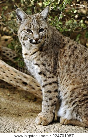 Full-length profile of Bobcat with gorgeous markings. Her spots are repeated in the log behind her.