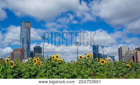 AUSTRALIA, MELBOURNE - JANUARY 16, 2015: Sunflowers in front Melbourne city skyline on sunny day.