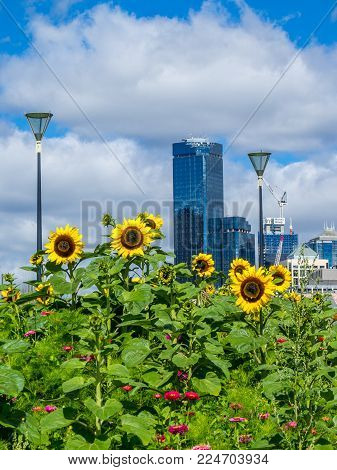 AUSTRALIA, MELBOURNE - JANUARY 16, 2015: Sunflowers in front of the Rialto Tower  on sunny day.