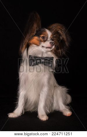 Beautiful dog Continental Toy Spaniel Papillon in black leather bow tie round neck on a black background