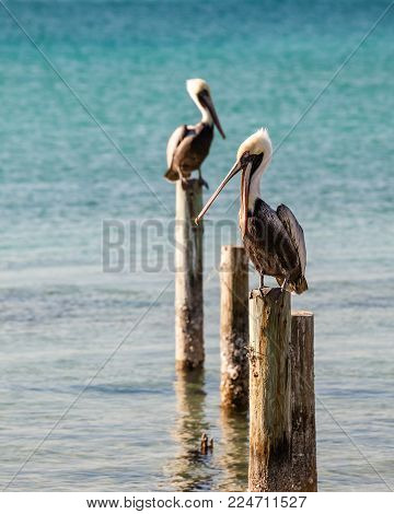 Two pelicans resting on wood pilings in Destin Harbor, Florida.