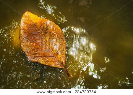 yellow tropical leaf in water. The concept of autumn. A large orange tropical wood leaf in the water after the rain.