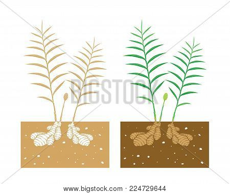 isolated ginger plant with tubers vector illustration