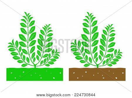 isolated stevia plant with leaves vector illustration