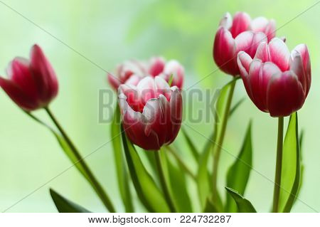 Fragment Of Bouquet Of Beautiful Spring Tulip Flowers.