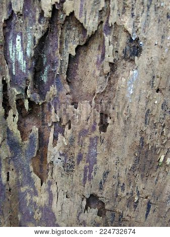 Wood texture,close up of hickory grey wood with natural patterns