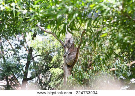 Koala on a tree in the zoo