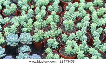 Close-up of Echeveria Succulent plant in the garden. This is a species of cactus family that is resistant to extreme weather and is decorated in the home