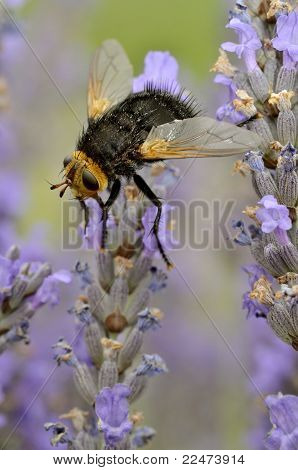 Tachyna fly on lavender flower
