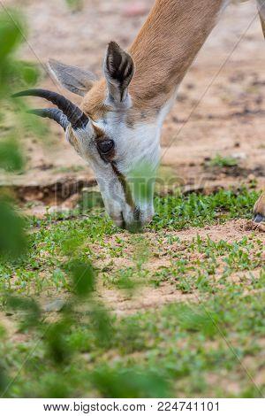 Face And Horn Of Gemsbok Antelope (oryx Gazella) Deer, South Africa