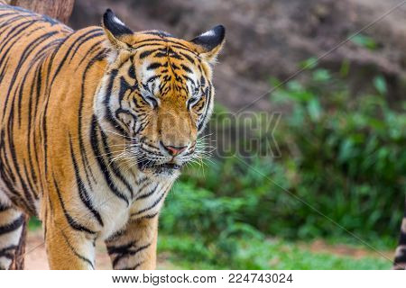 Tiger Walk And Close The Eye With Nature Background