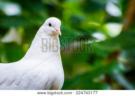 Pied Imperial Pigeon Bird Catch  On The Tree