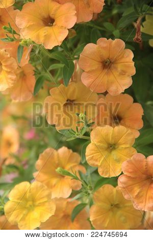 Vertical image of beautiful yellow petunias dangling from hanging pot with natural light streaming in from window of home.