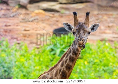 Tongue and Face of Masai giraffe peaks around bush
