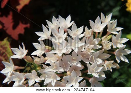 Gorgeous Plant With Small White Flowers That Look A Lot Like Stars.