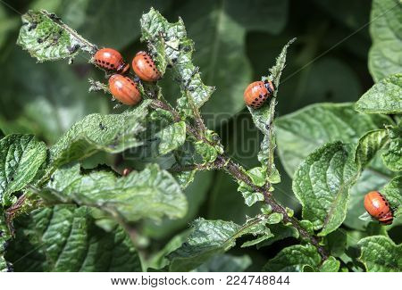 Pests of agricultural plants: the larvae of the Colorado potato beetle eat the leaves of potatoes.